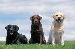Labrador-Retriever.jpg