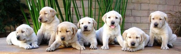 Labrador_Retriever_Puppies.jpg