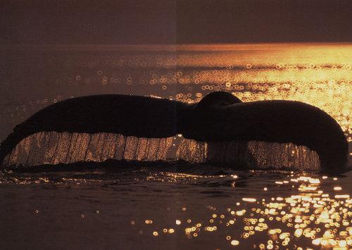 極地的呼喚-鯨.jpg