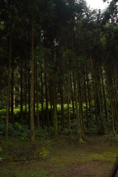 好高的杉木喔~