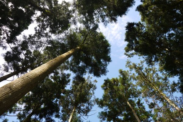 高聳的杉木林