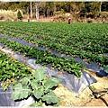 9耀婆山草莓園 (3).JPG