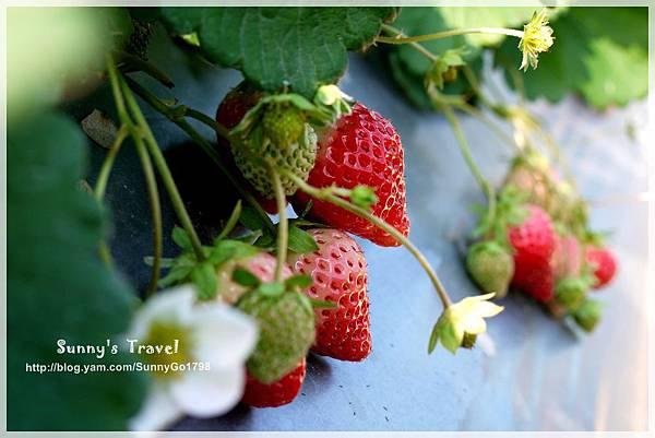 9耀婆山草莓園 (18).JPG
