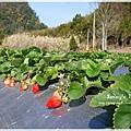 9耀婆山草莓園 (19).JPG