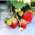 9耀婆山草莓園 (26).JPG