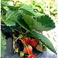 9耀婆山草莓園 (31).JPG