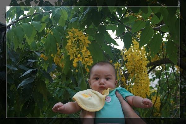 小花與黃金雨阿勃勒