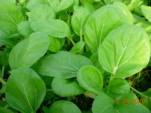 黑葉白菜-1.jpg