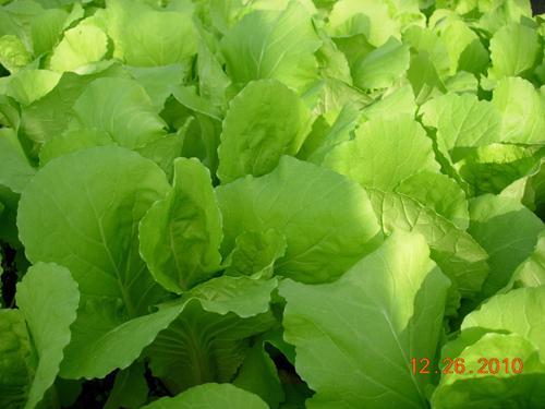 翠玉白菜-1.jpg