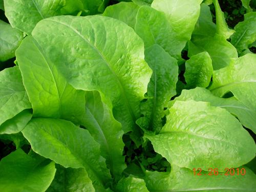 A菜-1.jpg