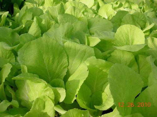 小白菜-1.jpg