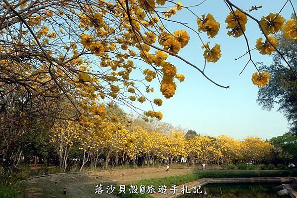 億載金城.黃花風鈴木 (17).JPG