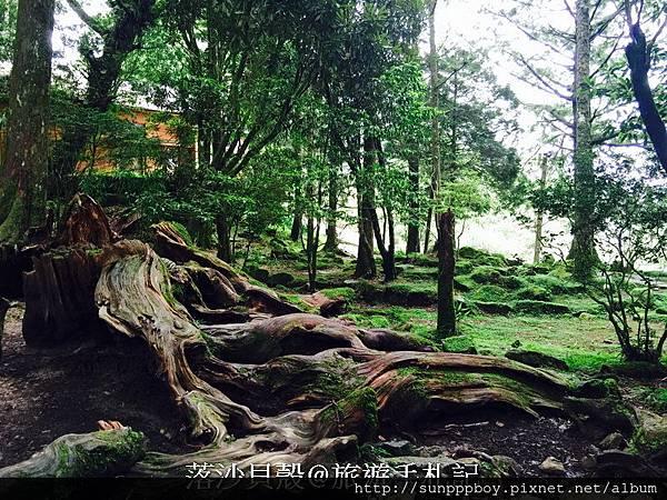 嘉義_阿里山國家公園 (256)_調整大小.JPG