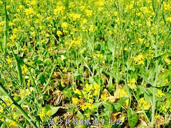 嘉義_太保_花海節 活動期間1.22~1 (43).jpeg