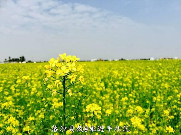 嘉義_太保_花海節 活動期間1.22~1 (40).jpeg