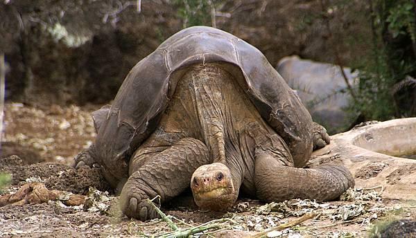 平塔島象龜.jpg