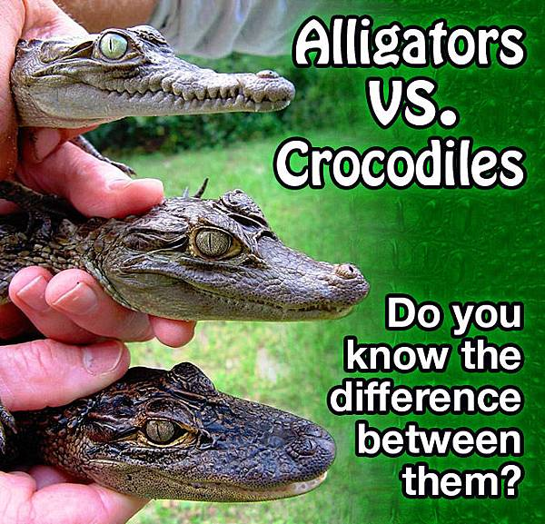 difference-between-alligator-and-crocodile