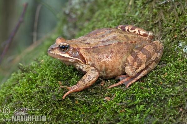 林蛙-113802.jpg