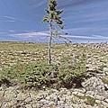 挪威雲杉.jpg