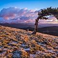 Bristlecone pine針毬松01.jpg