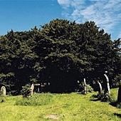 威爾士墓地的紫杉.jpg
