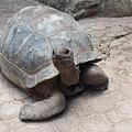 阿爾達布拉巨龜.jpg