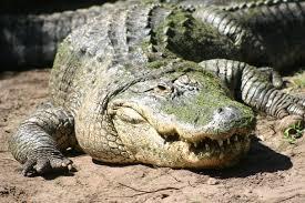 Alligator3.jpg
