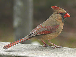北美紅雀 雌.jpg