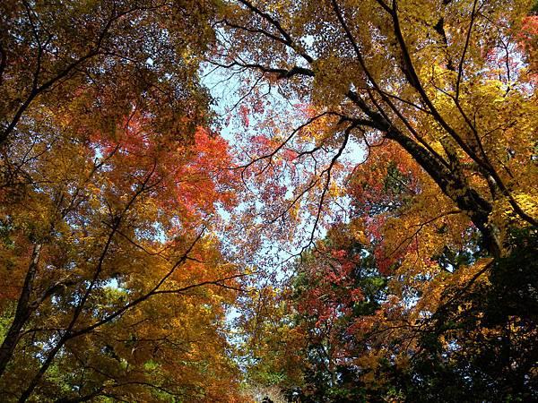 箱根神社紅葉