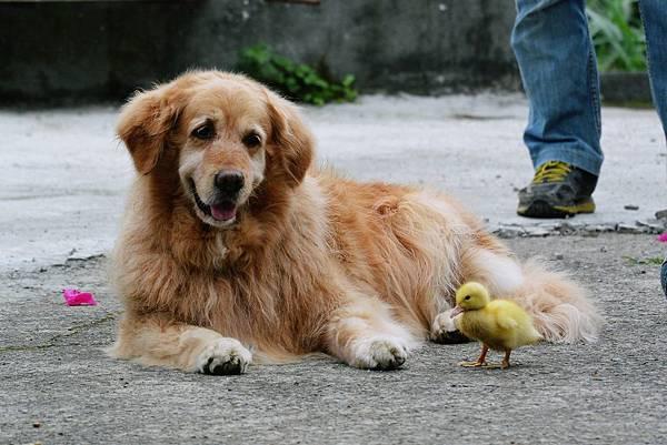 小狗與小鴨.JPG