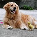 狗狗與鴨鴨