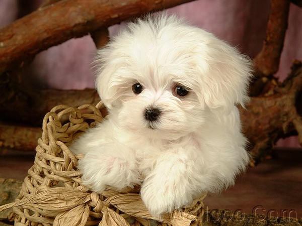 lovely_white_puppy_dog_83171.jpg
