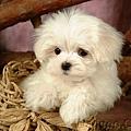 lovely_white_puppy_dog_83171.jpg