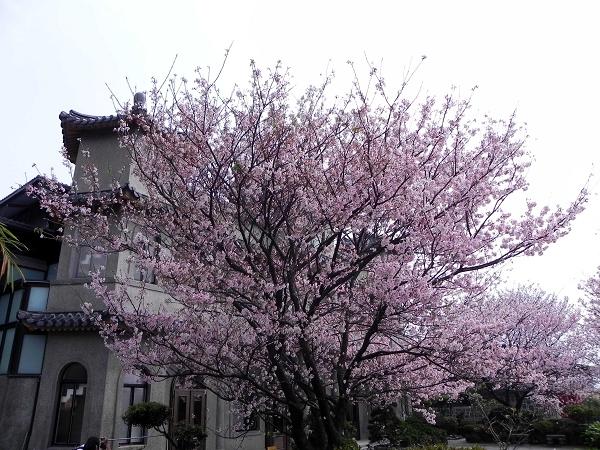 2013櫻花(東方寺)