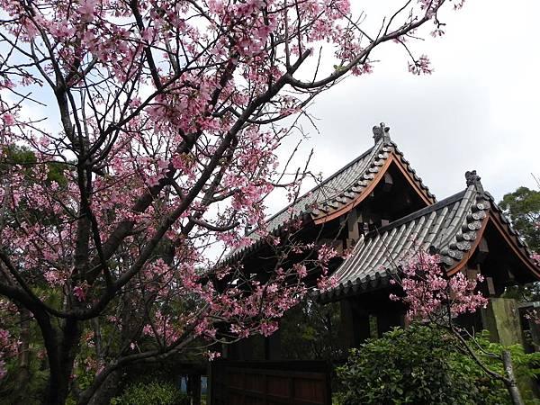 2013櫻花(緣道觀音廟)