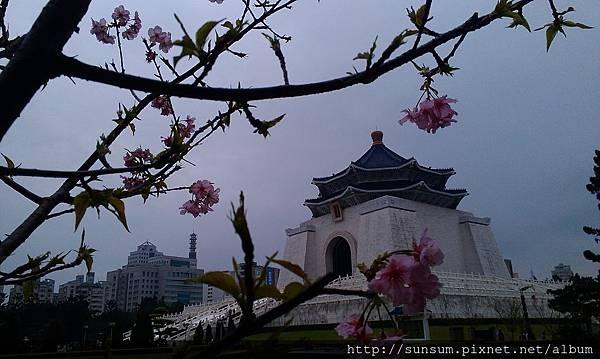 河津櫻3-2014中正紀念堂