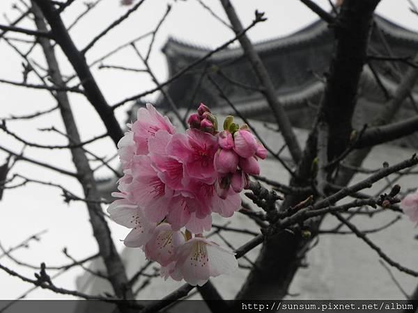 大寒櫻-2014中正紀念堂