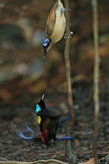 威氏極樂鳥.jpg
