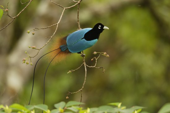 蘭極樂鳥.jpg