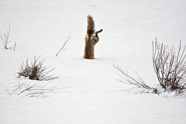 自然單元榮譽獎獲獎作品《赤狐》