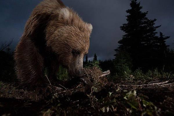 自然單元榮譽獎獲獎作品《阿拉斯加棕熊》