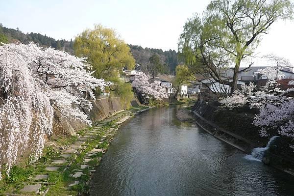 夕陽伴隨滿開的櫻花,日本人也搶著拍照