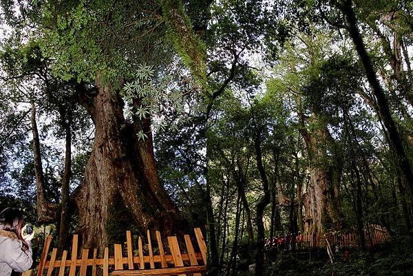 大巨木.jpg