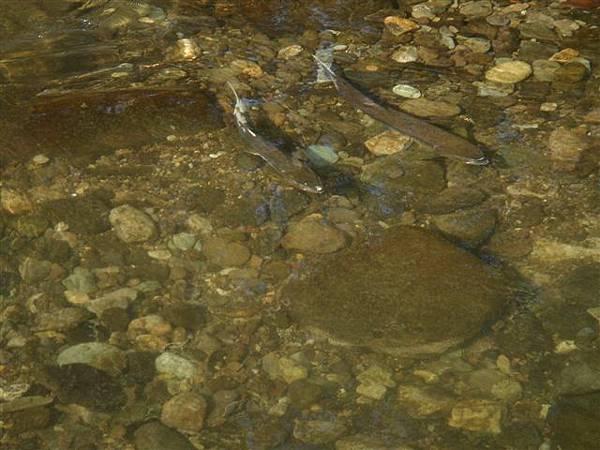 054_斜里河中鮭魚.JPG