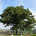 018_七星樹.JPG