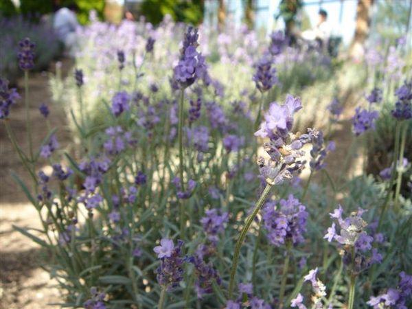 087_紫色的夢.JPG