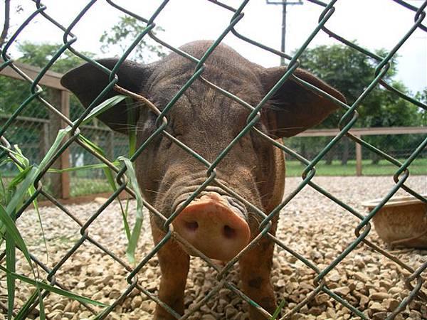 01豬豬.JPG