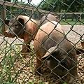 02豬豬.JPG
