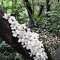 066_賞桐步道.jpg