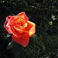 033_玫瑰.JPG